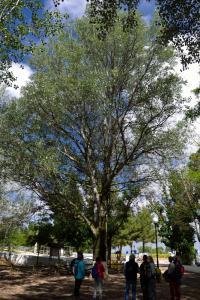 Ruta Encina de Ruli - Senda verde río Záncara.2