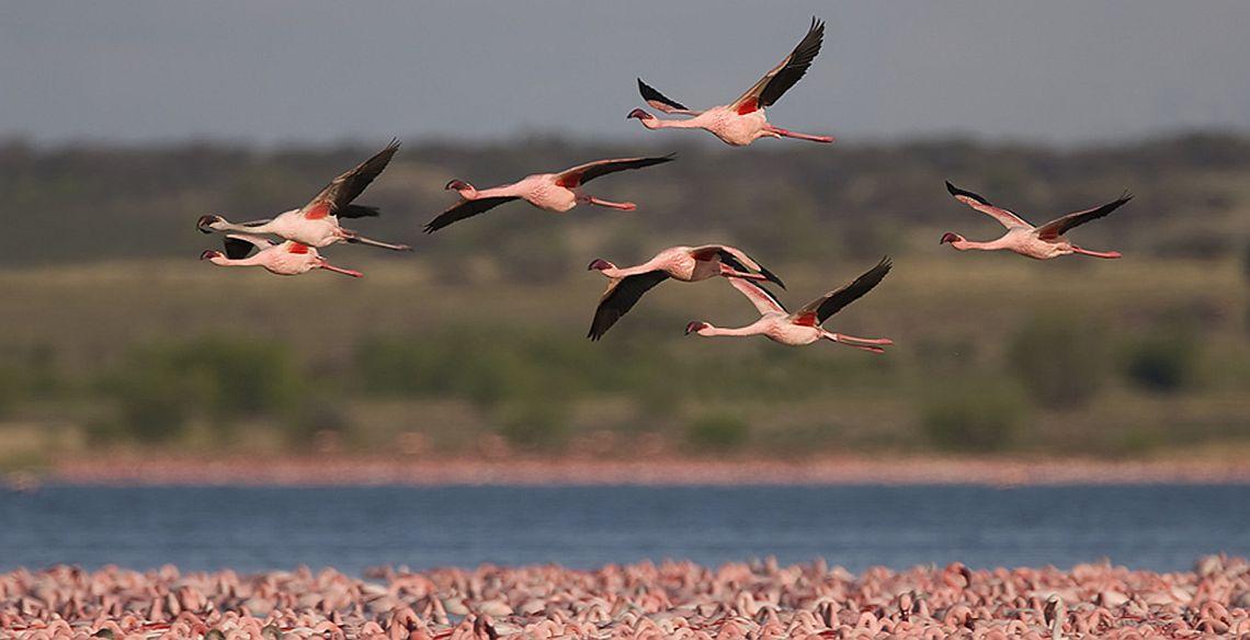 Lesser Flamingo_banner 1140x584