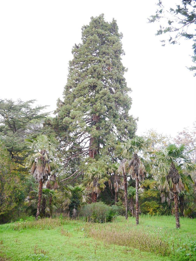 Árboles Singulares, Secuoya, Daroca