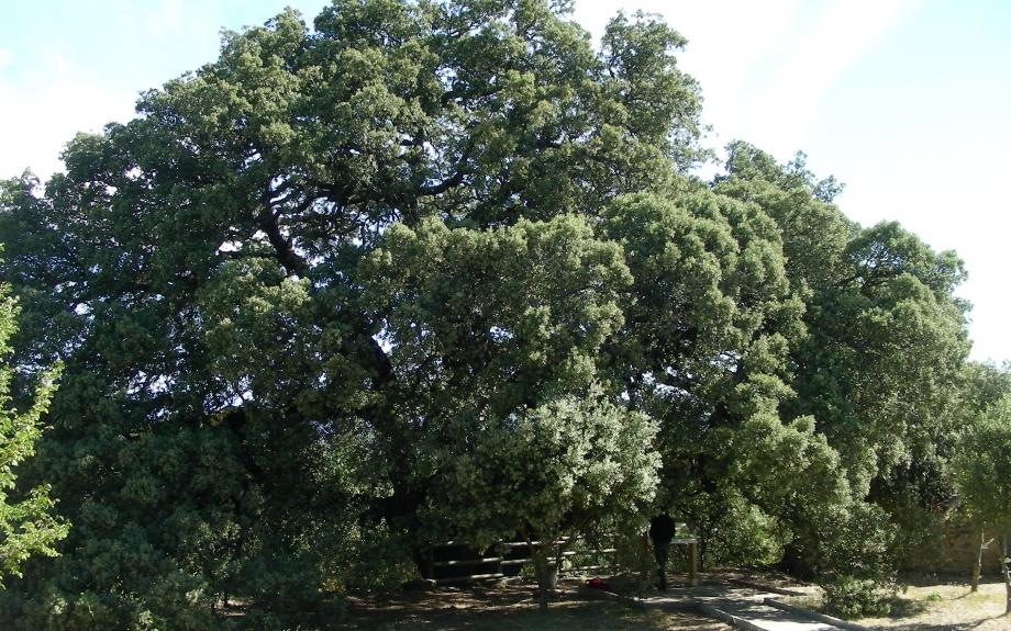 Árboles Singulares. Encina deLecina