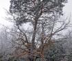 Pino – Roble de Canicosa Invierno