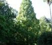 Matasequoia Lourizan