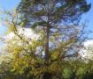 Pino – Roble de Canicosa Primavera