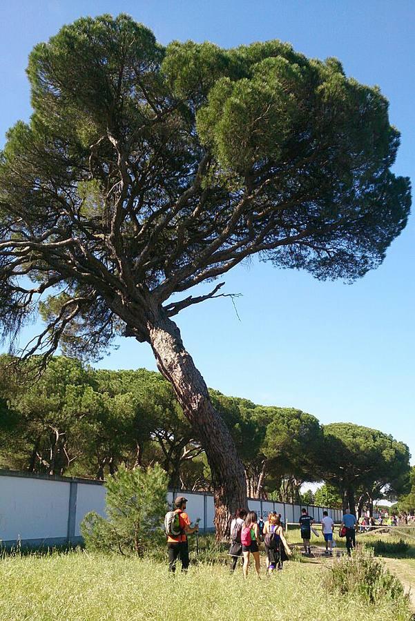 El pino guía, en una fotografía tomada en mayo, durante la Marcha Asprona. / Carlos Yoldi