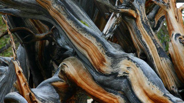 Es la adversidad del entorno la que hace los pinos milenarios tengan estas formas. (GETTY)