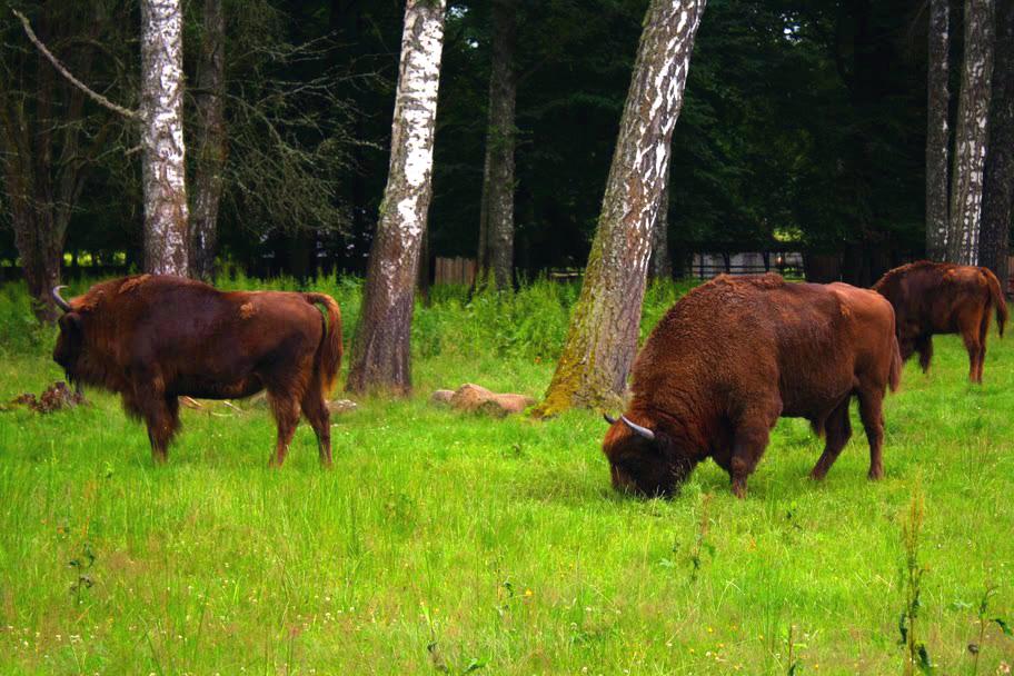 Algunos de los últimos bisontes de Europa, en Polonia.