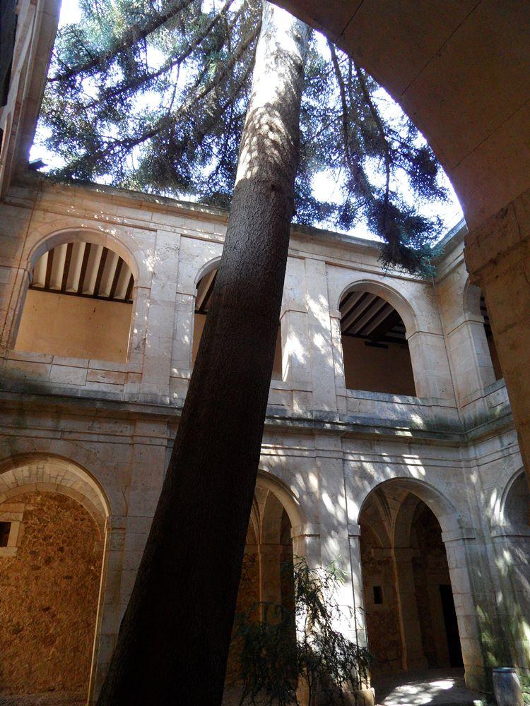 Pinsapo dentro del claustro. Foto: Javier Gómez. Gracias al autor por compartirla con nosotros !!